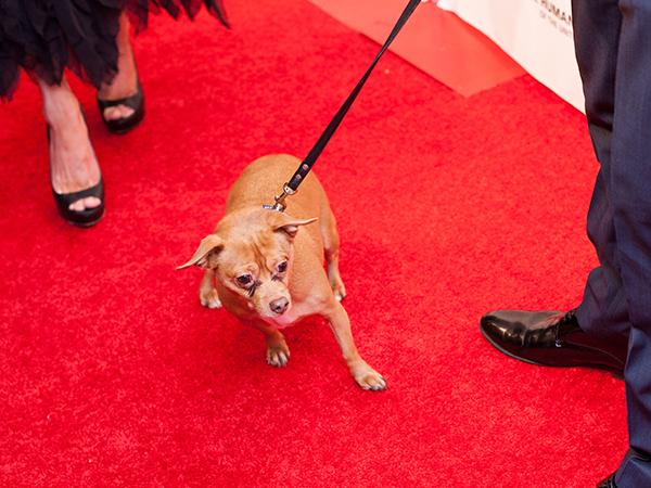 Amanda Heart's dog Finn, a puppy mill dog, making his way down the red carpet. Photo Credit: Stephanie Augello