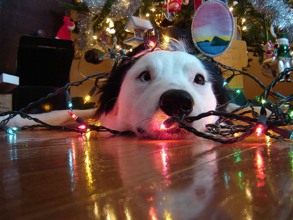 photo credit vicky thflickr - Dog Christmas Lights