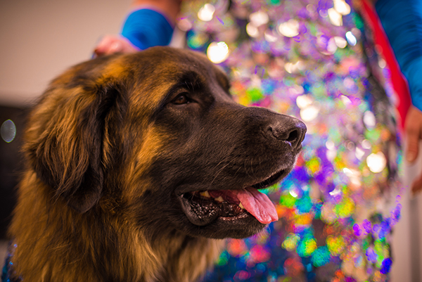 Hollywood getting ready to strut his stuff at the Doggies and Tiaras Pageant. Image via Cheyenne Cohen.