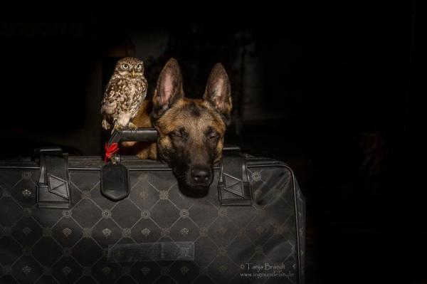 owl and german shepherd5