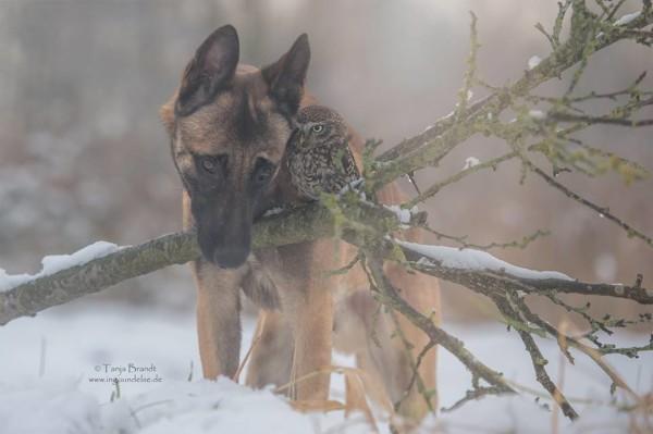owl and german shepherd6