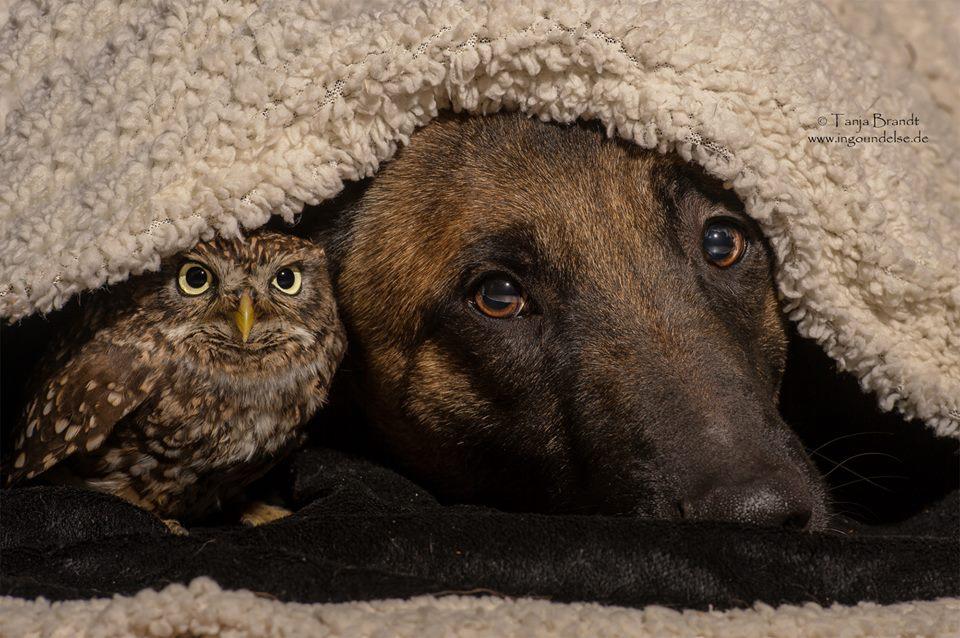 owl nad german shepherd8