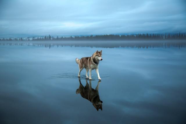 Siberian Husky Walking on Water