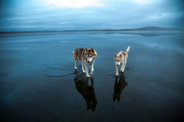Siberian Husky Walking on Water10