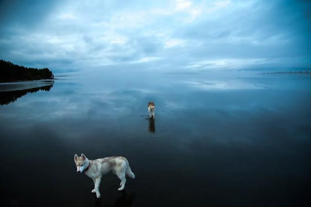 Siberian Husky Walking on Water11