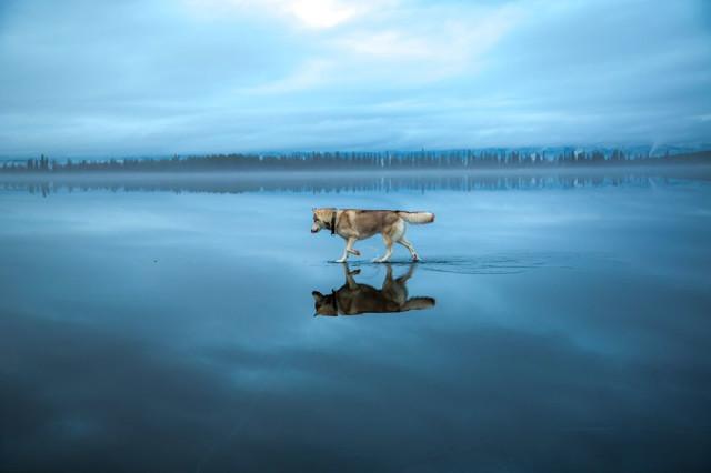 Siberian Husky Walking on Water13