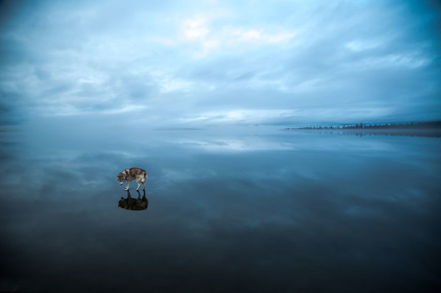 Siberian Husky Walking on Water2