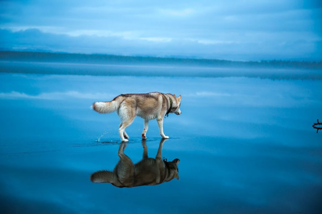 Siberian Husky Walking on Water3