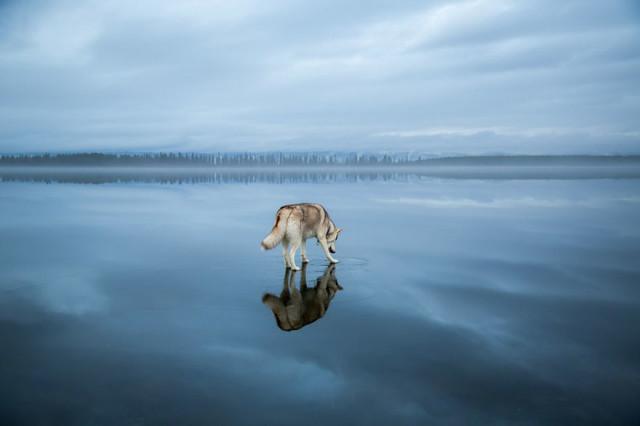 Siberian Husky Walking on Water4