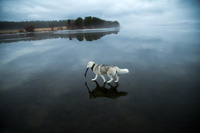Siberian Husky Walking on Water5