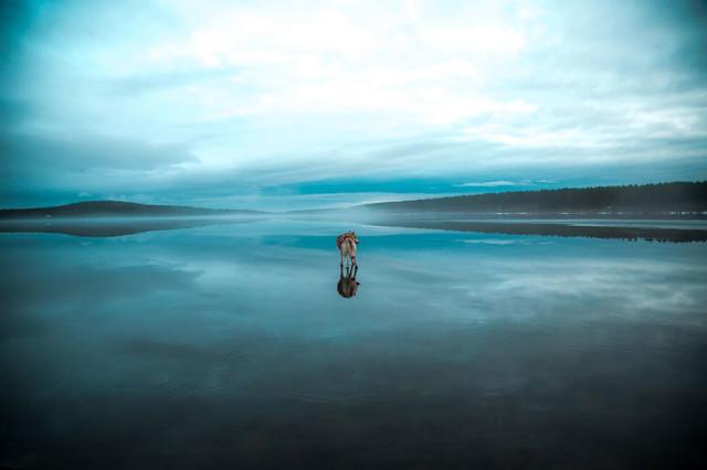 Siberian Husky Walking on Water6