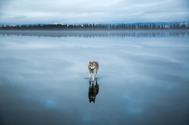 Siberian Husky Walking on Water8
