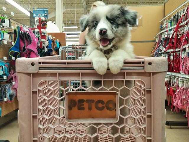 Dog in shopping cart at petco