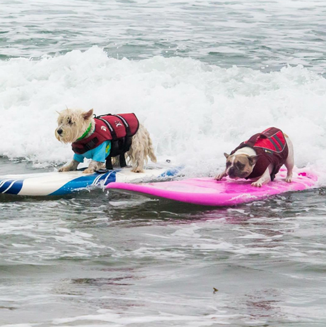 Cherie the Frenchie and Joey the Westie. Unleashed by Petco Surf Dog Competition