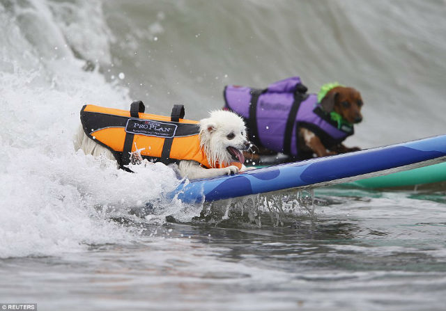 Unleashed by Petco Surf Dog Competition