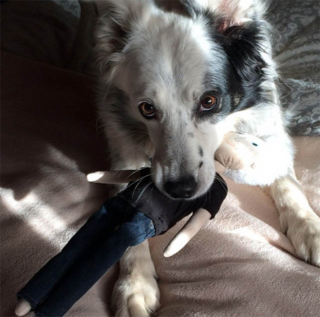 chase the border collie