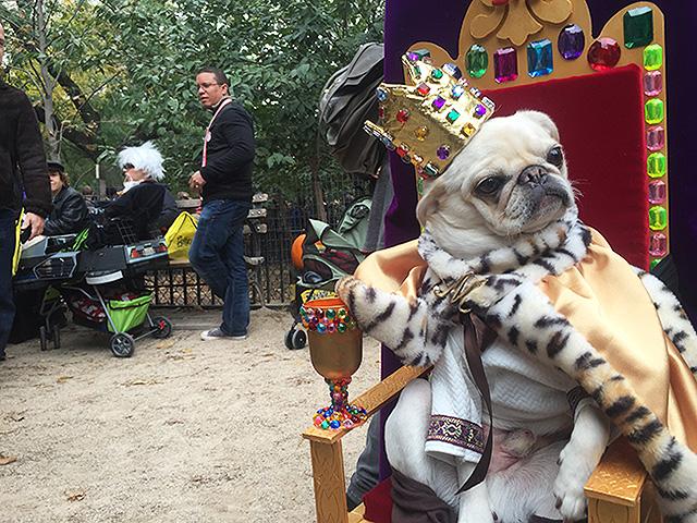 King pug.