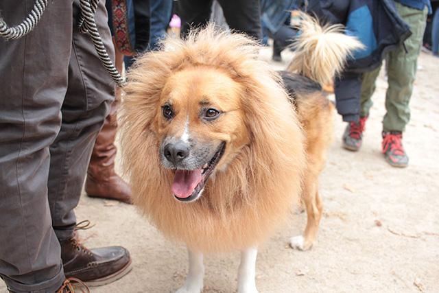 Lion pooch. Image via Geoffrey Woodcock.