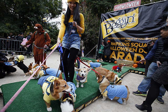 A bunch of corgis as Minions. Photo by Jason DeCrow/Invision for Purina Beggin'/AP Images