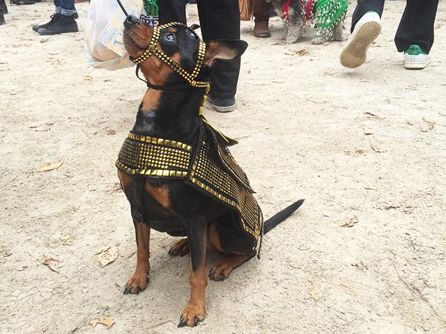 A pharaoh dog.