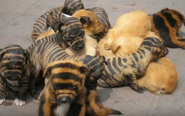 tiger dogs 3