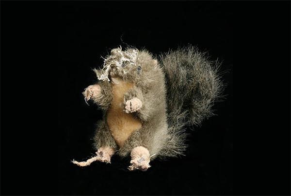 Chewed Squirrel