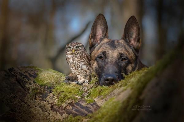 owl and german shepherd3