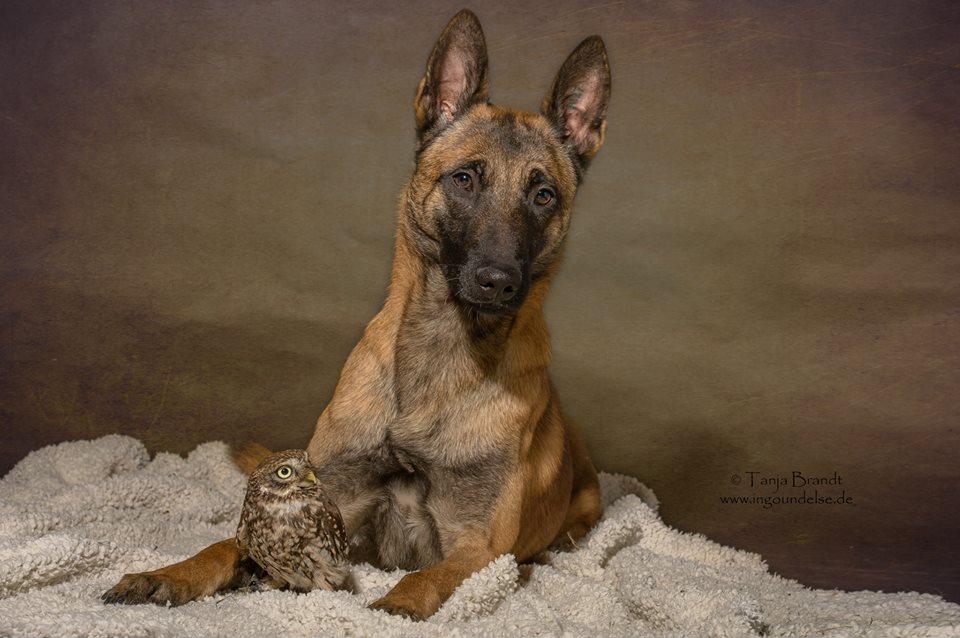 owl and german shepherd7