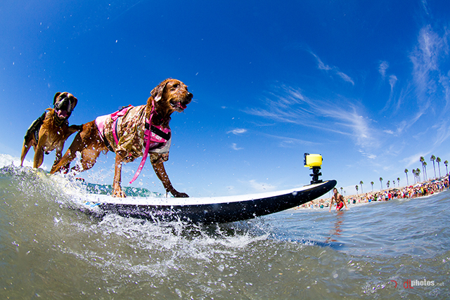 22 Spectacular Pictures of Dogs Riding the Waves at the ...